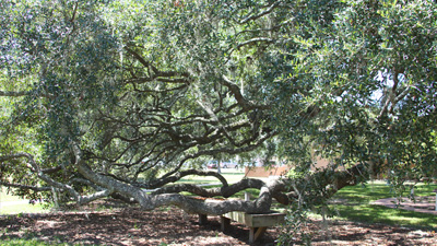 The Oak Tree - Baptist Village